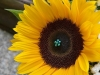 Sunflower Celebration ~ Details