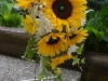 Sunflower Celebration