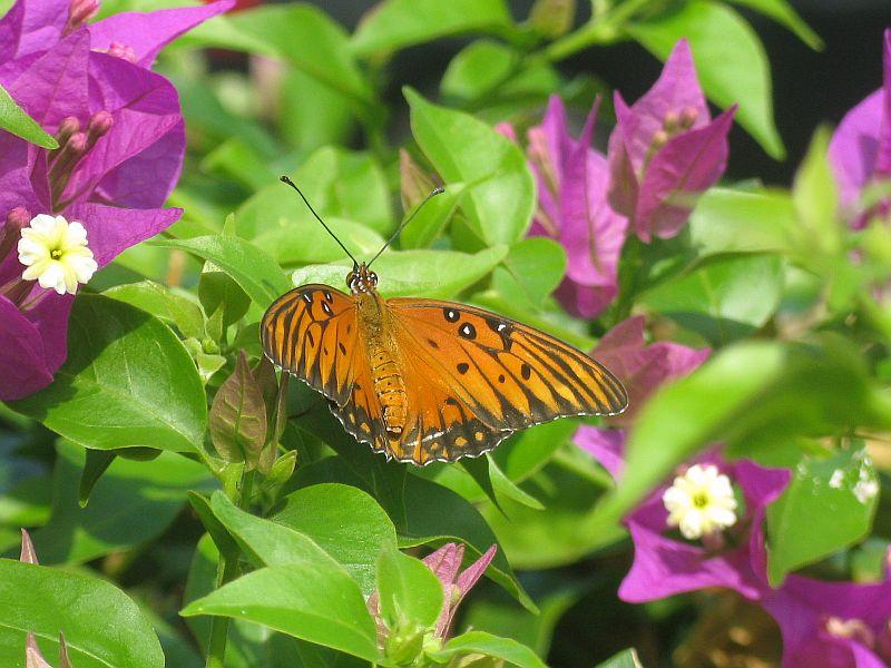 Butterfly on bougainvillea bush
