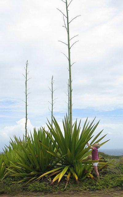 Maui road trip yuccas